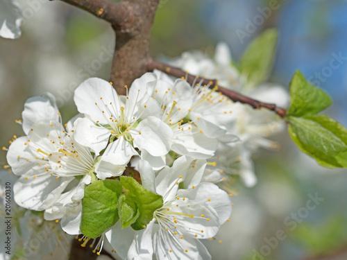 Blühender Pflaumenbaum, Prunus domestica