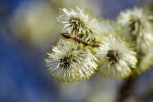 Flowering Willow. Flowering Pu...