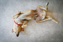 Thai Dog Sleeping Upside Down On The Cement Floor