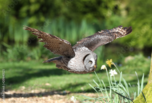 Keuken foto achterwand Uil Close up of a Great Grey Owl flying through woodland