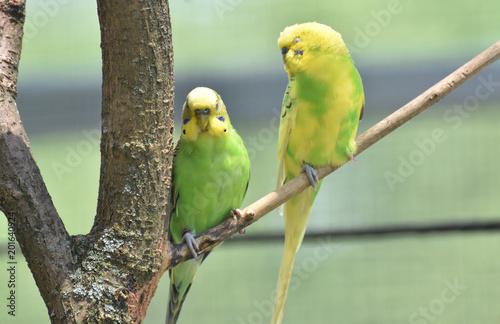 Fényképezés Couple of Common Parakeets Sitting on a Tree Branch