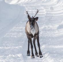 A Wild Woodland Caribou (North...