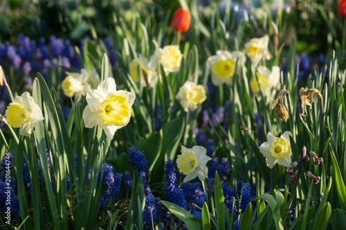 Canvas Prints Narcissus Daffodil flower in grass. Slovakia