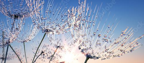 Fototapeta premium Dandelion z kroplami rosy