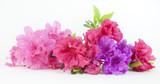 Isolated pink, red, and purple spring azalea blooms.