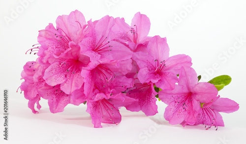 Wall Murals Azalea Isolated pink spring azaleas blooms.