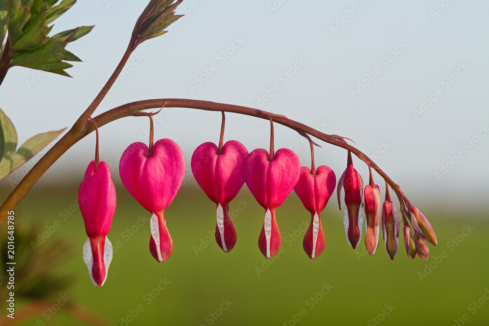 The heart shaped pink and white flowers of Bleeding heart, also known as Lyre flower or Lady-in-a-bath