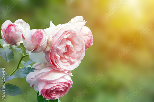 Fotobehang Zwavel geel A photo of english pink pale rose bush in the summer garden. Rose shrub in the park, outdoor. Sunshine beams with selective soft focus. Place for text, copy space. Valentines or birthday background.