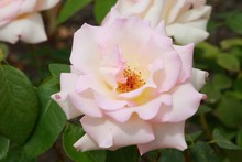 Pinkish White Rose With Yellow...