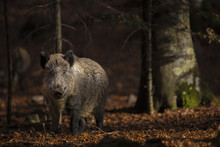 Close Up Of A Large Wild Boar ...
