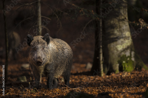 Close up of a large wild boar Sus scrofa swine calm woman walking and search using snout looking food in the dark wood Fototapete