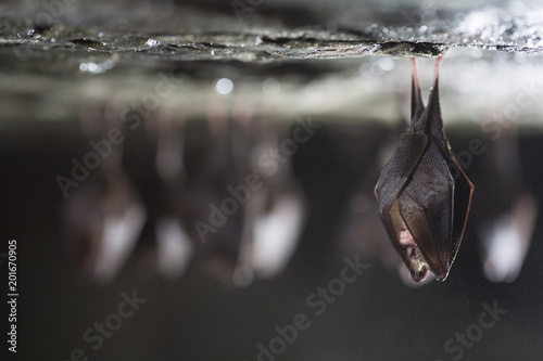 Fotografía Close up group of small sleeping horseshoe bat covered by wings, hanging upside down on top of cold natural rock cave while hibernating