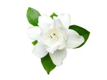 White Gardenia Flower Or Cape ...