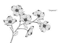 Dogwood Flower Drawing Illustration.