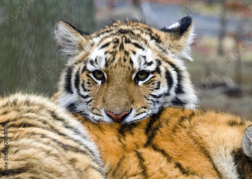 Cute tiger cub buy this stock photo and explore similar images at cute tiger cub thecheapjerseys Image collections