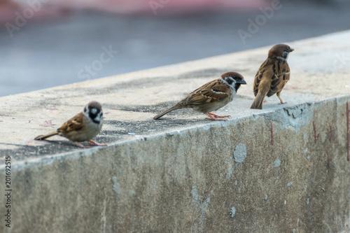 Fotografía Bird (Eurasian tree sparrow) in a nature wild