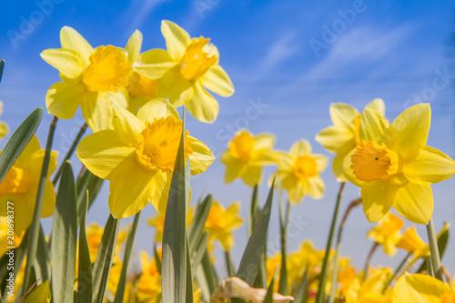 In de dag Narcis Daffodils in a garden against blue sky