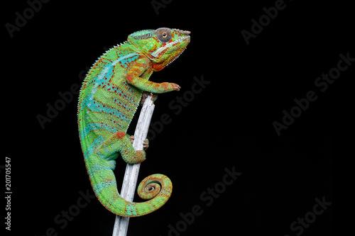 Naklejka premium żywy gad kameleon