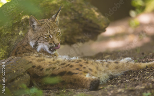 Fotobehang Lynx Portrait of furry Eurasian lynx having rest on forest ground in nature habitat, green leaves in foreground / background. Close up wildlife creative blurred bokeh scene at hot summer time. Warm season.