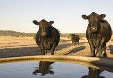 Cattle Coming To Drink From A Trough At An Australian Farm.