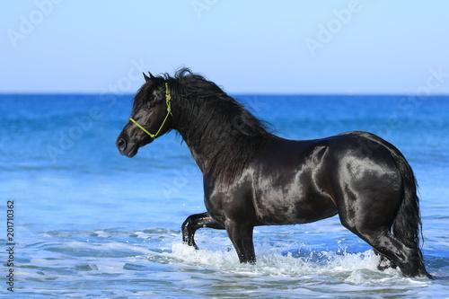 Foto auf AluDibond Pferde Friese im Meer