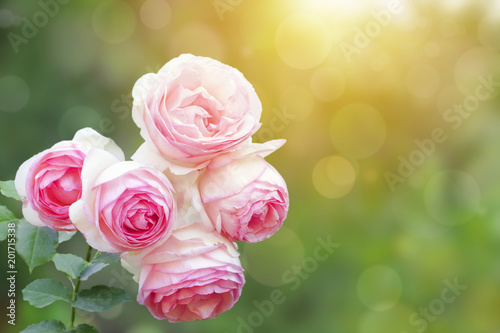 Fototapeta A photo of english climbing pink pale rose bush, summer garden. Rose shrub in the park. Sunshine beams, bokeh with selective soft focus. Place for text, copy space. Valentines or birthday background. obraz