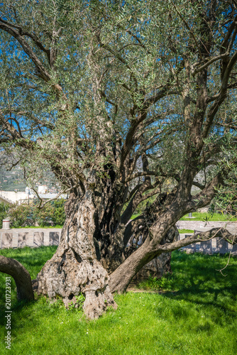 Poster  The oldest olive tree in Europe