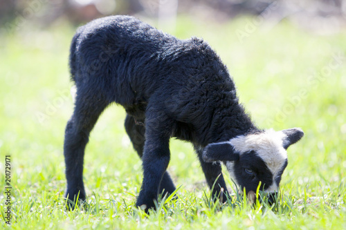 Poster Sheep Side view of small healthy sheep with curly white black fleece standing alone in green grassy field grazing on bright blurred background.