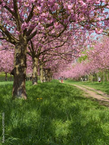 Fototapety, obrazy: Blühende Kirschbäume im Park