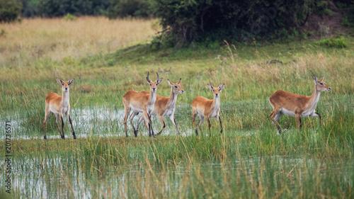 Poster Antilope running antelope Waterbuck (Kobus ellipsiprymnus) in the african savannah namibia kruger park botswana masai mara
