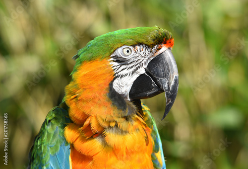 Poster Papegaai Parrot Harlequin Macaw