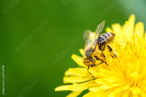Foto op Aluminium Bee Biene auf Löwenzahn