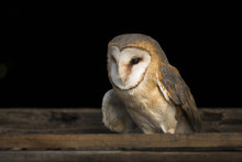Barn Owl Portrait Tyto Alba Sitting In Empty Attic Window Frame Of Abandoned Rural Farm House In The Country. Close Up Wildlife Scene Like From Fairy Tail During Twilight Time.