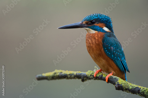 Kingfisher (Alcedo atthis)/Kingfisher perched on lichen covered branch Fototapete