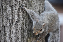 Closeup Of A Cute Brown Squirrel Climbing Up A Tree In A Park In Washington On A Sunny Spring Day