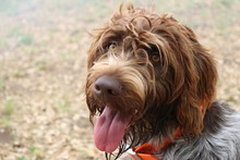 Portrait Of Wire-haired Pointi...