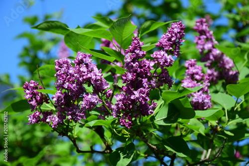 Foto op Aluminium Lilac Flieder, Syringa vulgaris