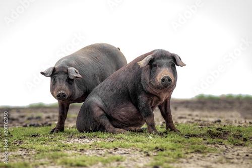 Cerdo ibérico de la dehesa de Extremadura mirando a cámara en primer plano
