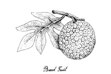 Hand Drawn Of Breadfruit On Wh...