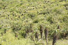 Wild Aloe Plants On The Slope Of A Mountain