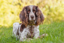 Brown Spotted Russian Spaniel ...