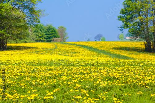 Dandelion flower field. Summer dandelions meadow.