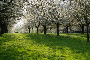 Cherry tree blossom, spring season in fruit orchards in Haspengouw agricultural region in Belgium, landscape