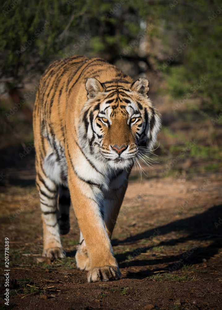 Tiger walking down a path