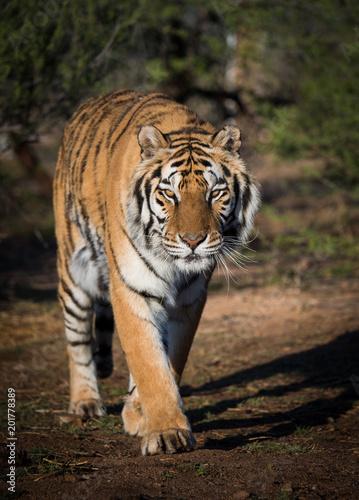 Tiger walking down a path