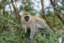 Spider Monkey In The Trees, Nairobi National Park
