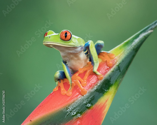 Spoed Foto op Canvas Kikker Red-eyed Tree Frog perched on a red and green bromiliad