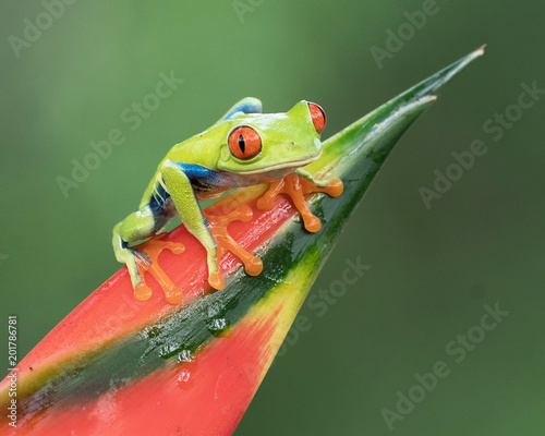 Tuinposter Kikker Red-eyed Tree Frog perched on a red and green bromiliad