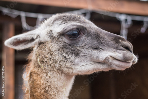 Foto op Canvas Lama bright adult lama looks at the frame