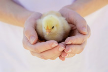 Cute Baby Chicken On The Meadow